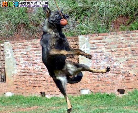 极品昆明犬出售 品相血统一级棒 签署合同质保