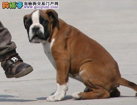 拳师犬、正规犬舍繁殖、诚信交易、纯种犬、可签协议