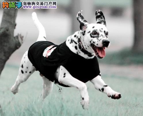 正规繁殖犬舍 出售高品质班点幼犬 健康质保签署协议