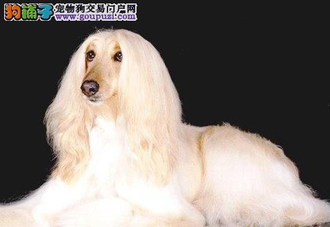 阿富汗猎犬幼犬热销中、金牌店铺放心选、寻找它的主人