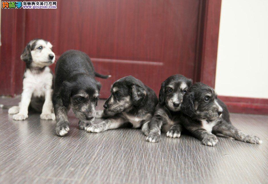 多种颜色的赛级阿富汗猎犬幼犬寻找主人价格美丽品质优良