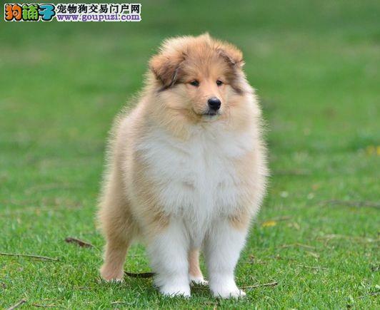 甘肃哪里有苏牧卖 甘肃苏牧最低多少钱 甘肃宠物狗狗