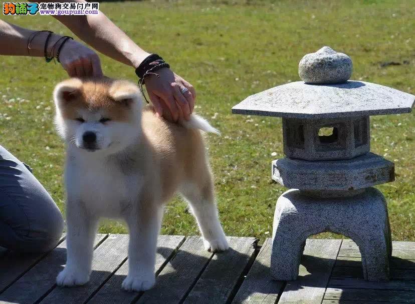 日本秋田宝宝血统出售中,犬舍直销终身质保,疫苗做全