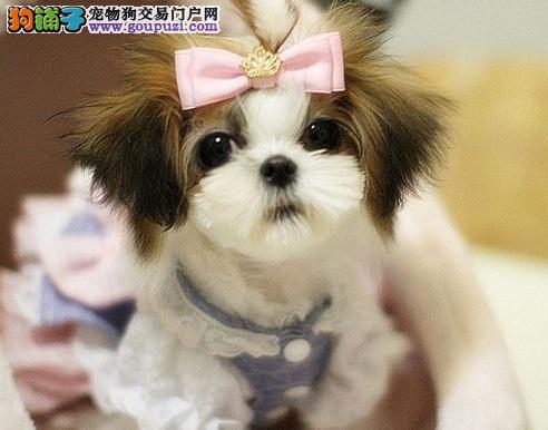 成都实体店低价促销赛级西施犬幼犬签订合法售后协议