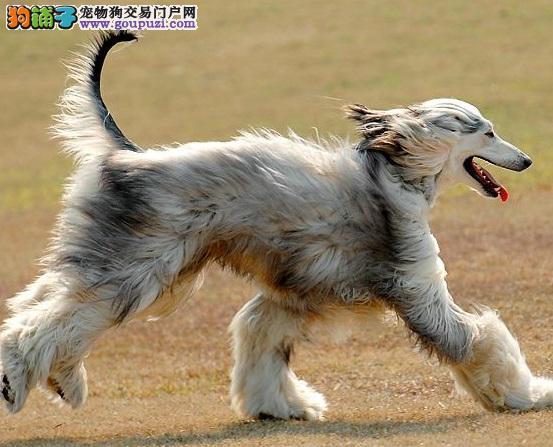 郑州出售极品阿富汗猎犬幼犬完美品相市内免费送货