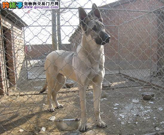 犬舍直销精品狼狗,保纯保质疫苗驱虫做完,可签订协议