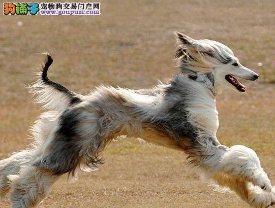 颜色全品相佳的阿富汗猎犬纯种宝宝热卖中喜欢微信咨询