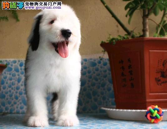 100%纯种健康的西安古代牧羊犬出售微信咨询看狗