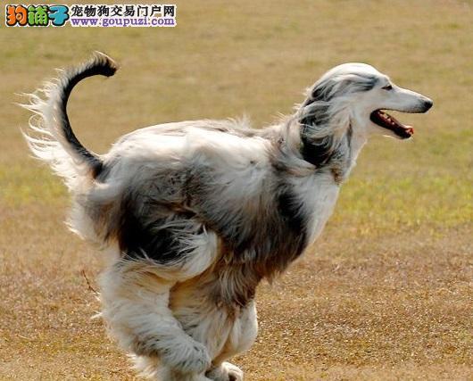 繁殖基地出售多种颜色的阿富汗猎犬喜欢来电咨询