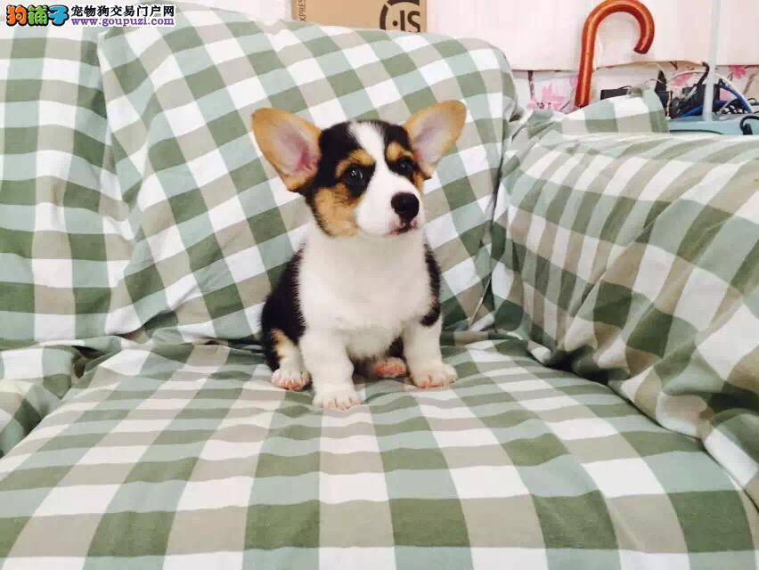 今天付款包邮、柯基幼犬、双色三色、白通脖小短腿柯基