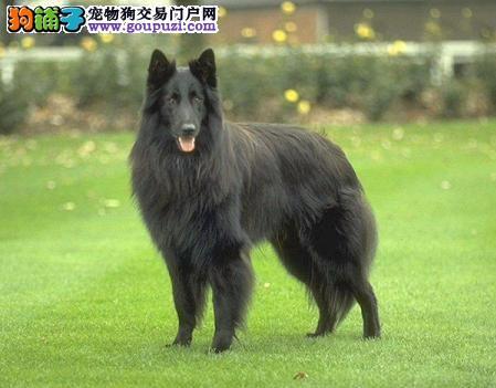 纯种比利时牧羊犬幼犬,可看狗狗父母照片,可签保障协议