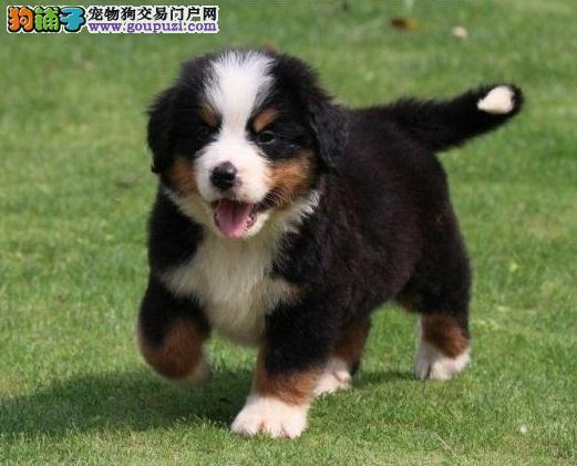 CKU认证犬舍直销,赛级品相伯恩山,保品质健康签协议