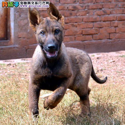 国际注册犬舍 出售极品赛级昆明犬幼犬质量三包完美售后