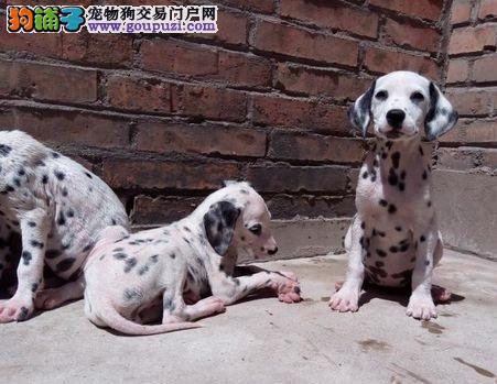 犬舍直销精品斑点,CKU认证血统质量,训犬饲养指导!
