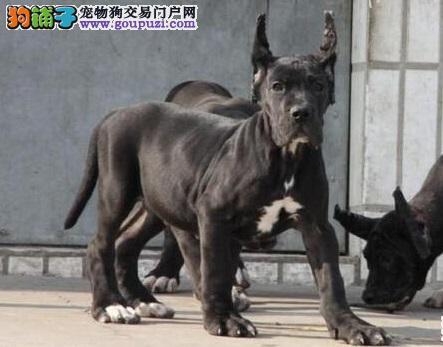 泉州出售极品大丹犬幼犬完美品相实物拍摄直接视频