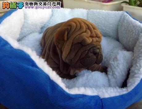 犬舍直销纯种沙皮幼犬,CKU认证犬舍出售,可签订协议