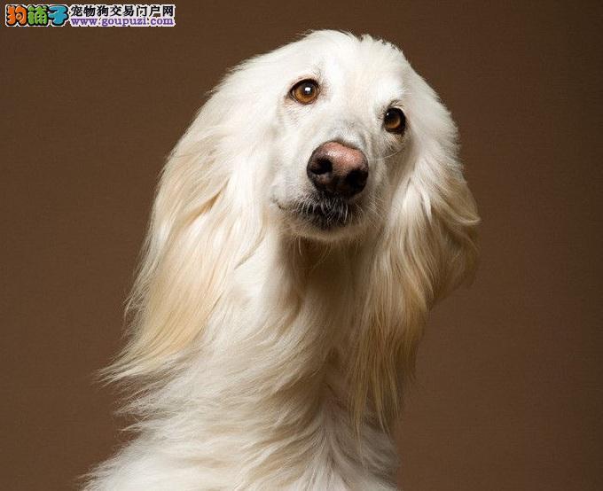 顶级优秀的纯种阿富汗猎犬热销中优惠出售中狗贩子勿扰
