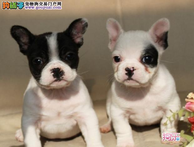 奶白法斗,犬舍出售血统法牛幼犬,多窝可挑,色样齐全