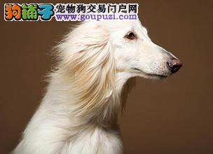 阿富汗猎犬上海CKU认证犬舍自繁自销品质血统售后均有保障