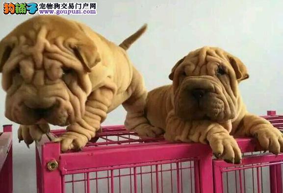 精品沙皮幼犬,血统纯正,犬舍直销多只可选,疫苗做全
