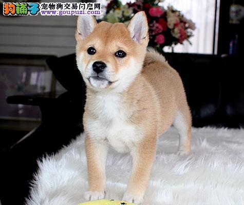 信誉第一品质第一精品柴犬幼犬,健康质保欢迎上门选购