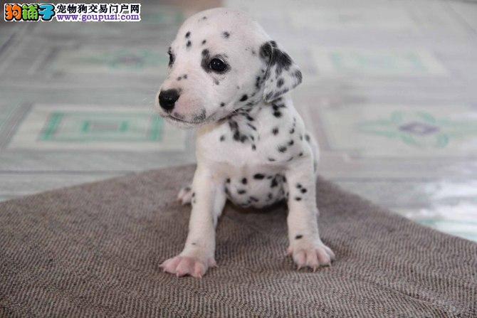 精品纯种哈尔滨斑点狗出售质量三包上门可见父母