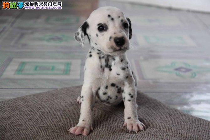 斑点狗找新家,保证血统纯度,可签保障协议