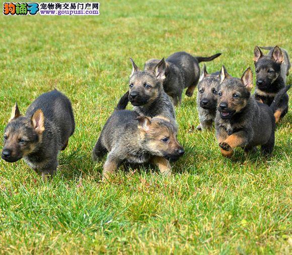 纯种犬幼崽、保证血统纯度、质保健康90天