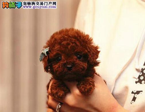专业繁殖高纯种高品质泰迪犬/韩国引进品质保障健康
