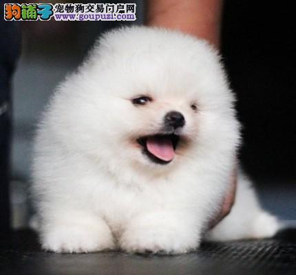 重庆市民都说好的博美犬 想养好狗 请进来看看
