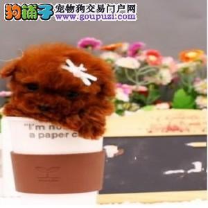 重庆市民都说好的茶杯犬犬出售 想养好狗 请进来看看