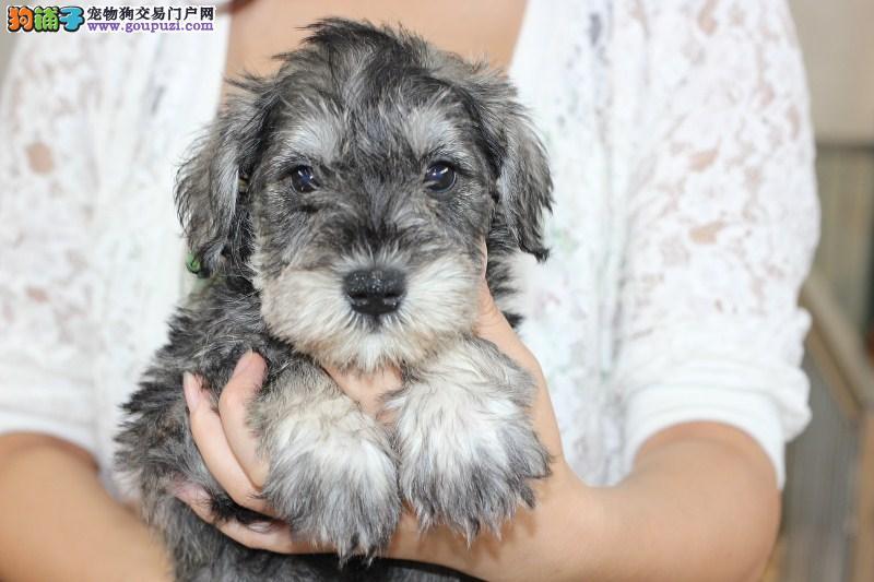 重庆市民都说好的雪纳瑞犬 想养好狗 请进来看看