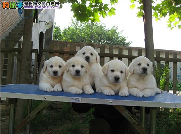 重庆市民都说好的拉布拉多犬 想养好狗 请进来看看