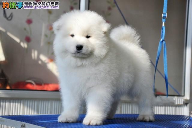 重庆市民都说好的萨摩耶犬 想养好狗 请进来看看