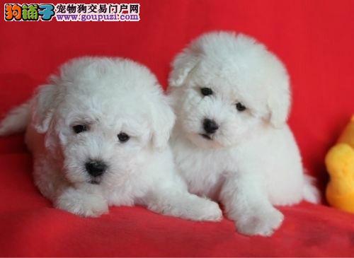 重庆市民都说好的比熊犬 想养好狗 请进来看看