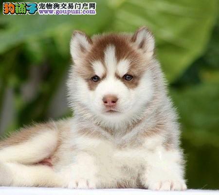 重庆市民都说好的哈士奇出售 想养好狗 请进来看看