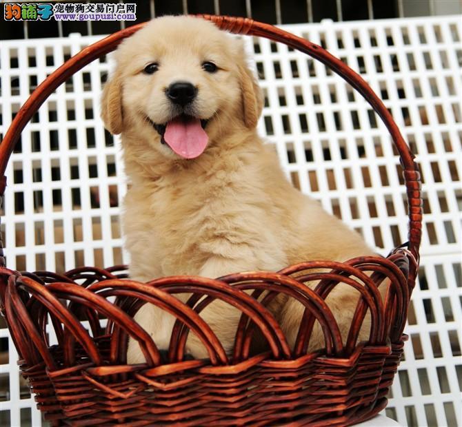 重庆市民都说好的金毛犬 想养好狗 请进来看看