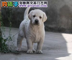 价钱好说、如果你真爱狗、想养条好狗、拉布拉多犬