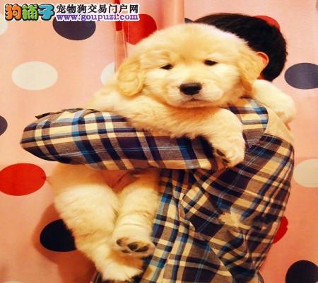 价钱都好说、如果你真的爱狗、想养条好狗、金毛犬待售