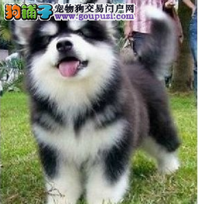 价钱好说、如果你真爱狗、想养条好狗、阿拉斯加犬