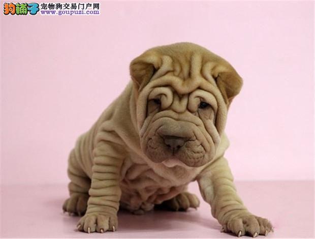 出售高品质沙皮狗幼犬、