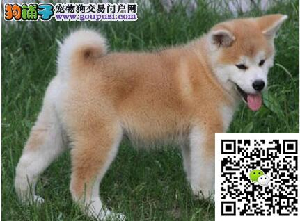 出售极品秋田幼犬 已做疫苗特价销售 欢迎前来挑选