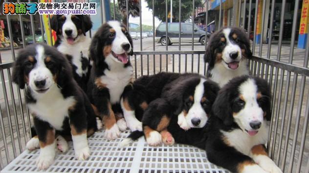 高品质伯恩山犬,气质犬种 健康保证