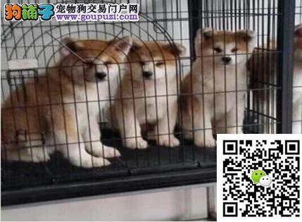 习性聪明,身体清洁的柴犬出售体型较小但护卫性强
