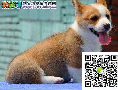 专业繁殖柯基幼犬威尔士柯基纯种健康 签订质保协议