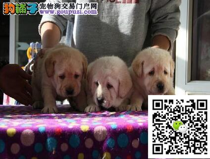 赛级血统拉布拉多幼犬 证书芯片齐全 可签订购犬协议