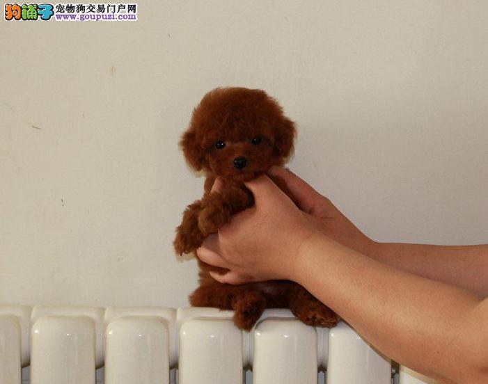 泰迪熊狗狗 茶杯玩具 可爱至极 质保签协议