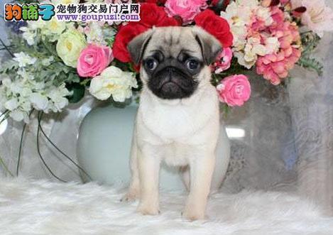 岳阳繁殖基地出售多种颜色的巴哥犬多种血统供选购
