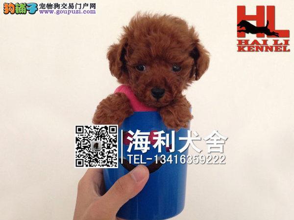 纯种泰迪犬 多种颜色选择 保证品质 保证健康