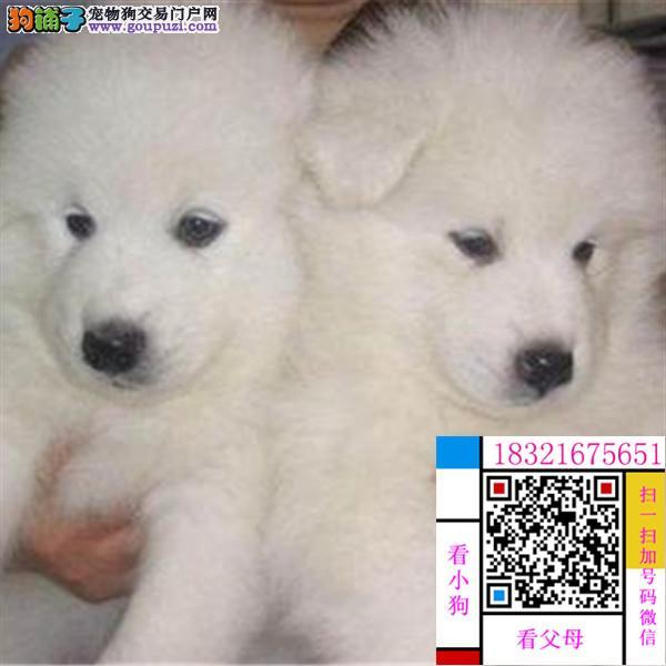 丽江雪兽系赛级大白熊幼犬 骨骼大 毛质好 极品幼犬